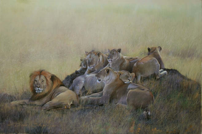 'King of the Pride' Oil on canvas 24 x 36 ins. An oil painting of a pride of Lions resting. Big Five Collection