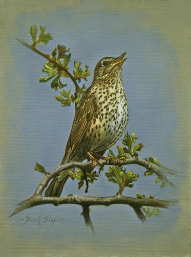 'The Song Thrush' Turdus philomelos Oil on panel 8 x 6 ins