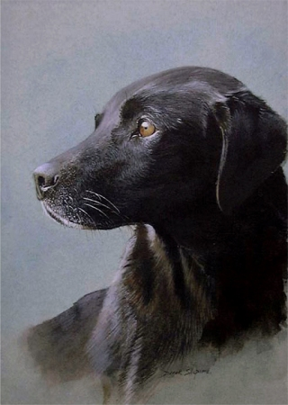'Purdie, On Mark' A dog portrait in watercolour of a working Black Labrador