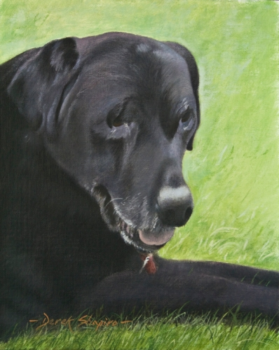 Portrait study of an old black Labrador dog lying out on a garden lawn