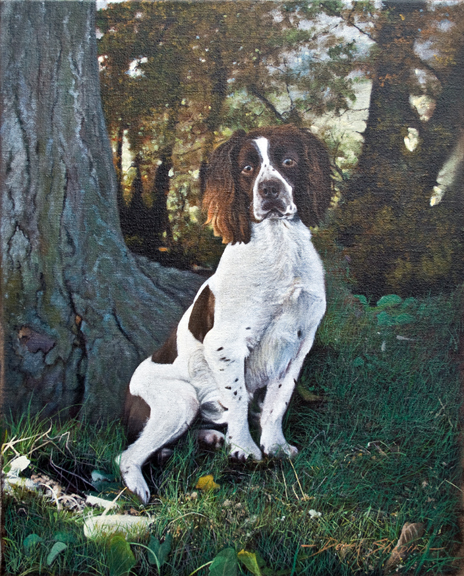 an oil painting on canvas of a working English Springer Spaniel waiting for a command to retrieve a marked pheasant
